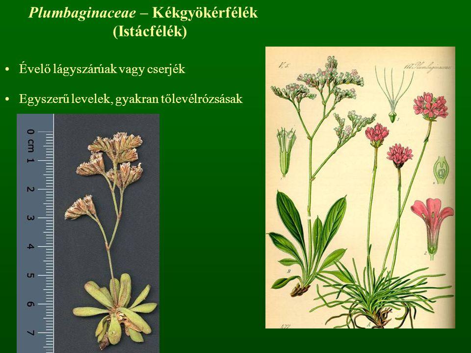 Plumbaginaceae – Kékgyökérfélék (Istácfélék)