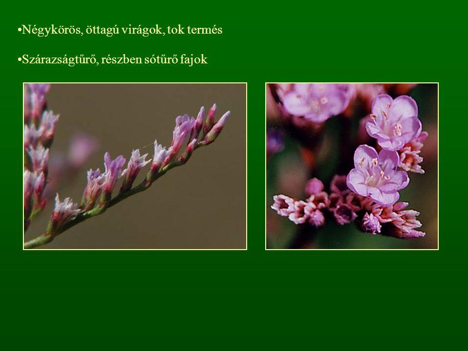 Négykörös, öttagú virágok, tok termés