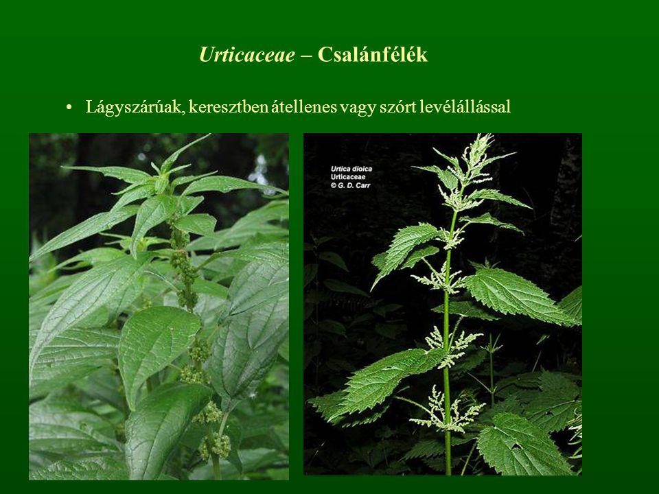 Urticaceae – Csalánfélék