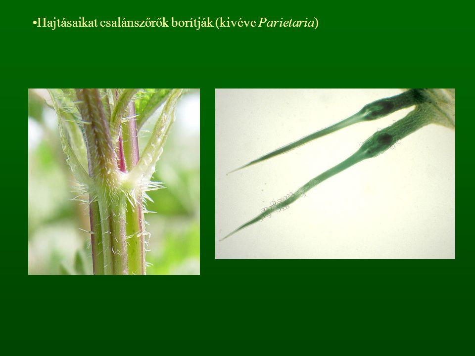 Hajtásaikat csalánszőrők borítják (kivéve Parietaria)