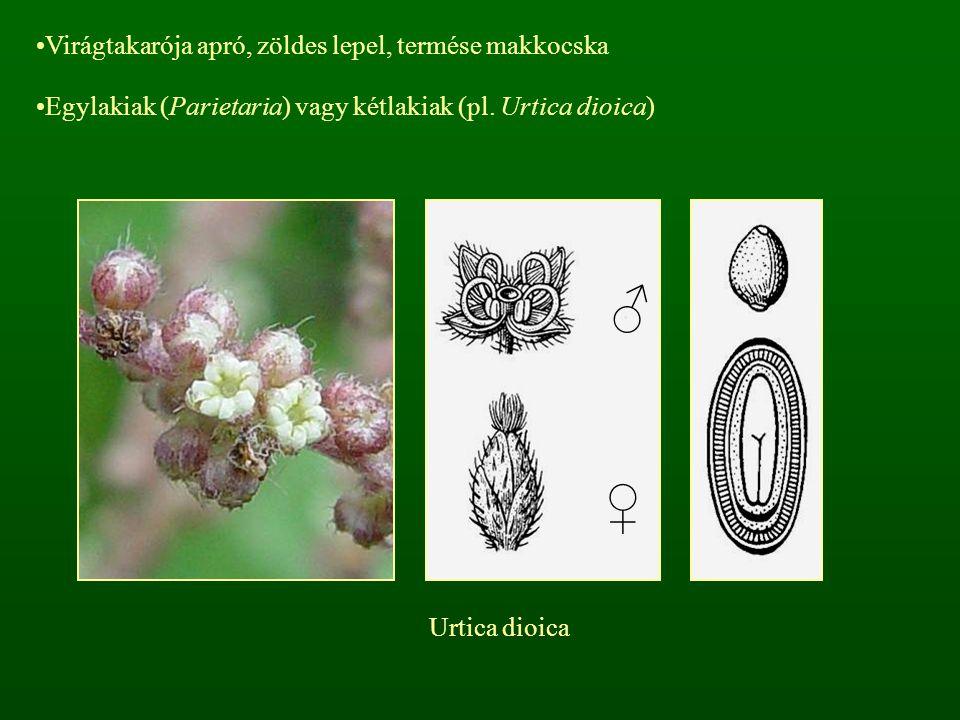 ♂ ♀ Virágtakarója apró, zöldes lepel, termése makkocska