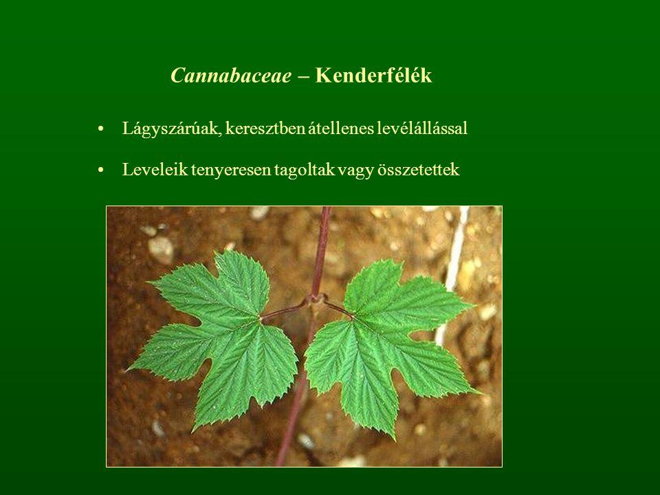 Cannabaceae – Kenderfélék