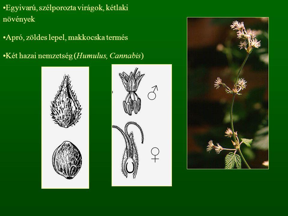 ♂ ♀ Egyivarú, szélporozta virágok, kétlaki növények