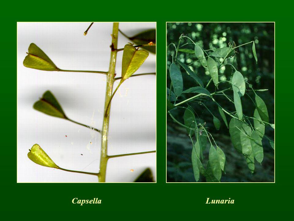 Capsella Lunaria
