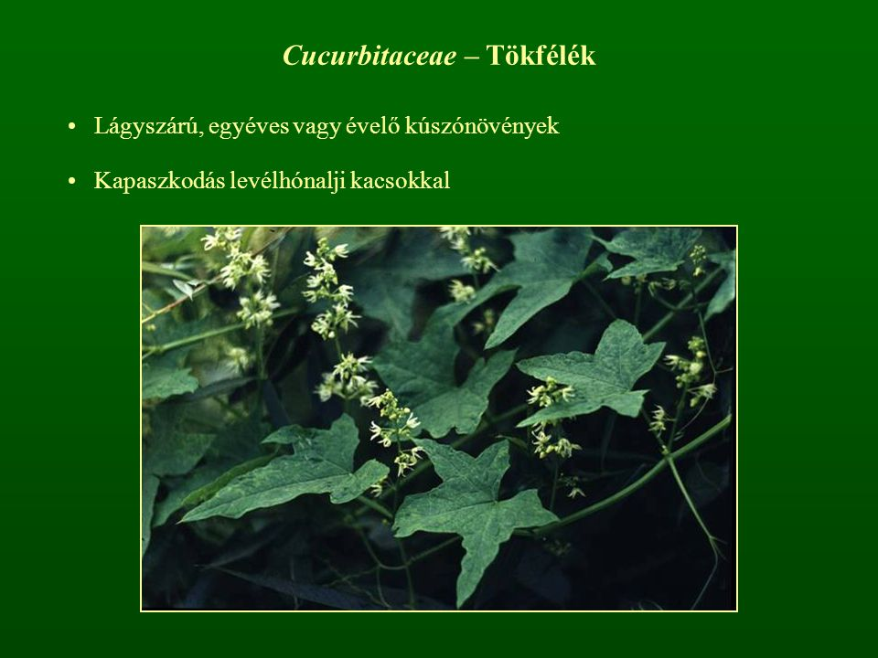 Cucurbitaceae – Tökfélék