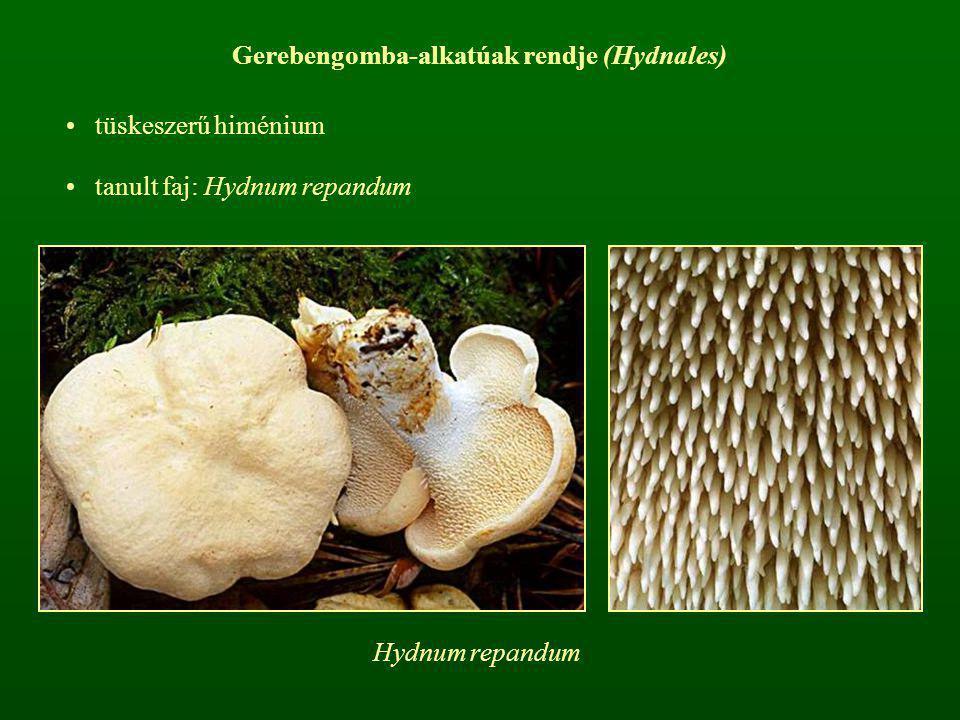 Gerebengomba-alkatúak rendje (Hydnales)