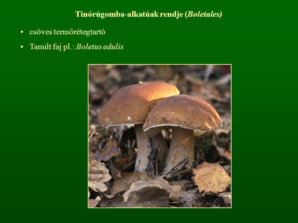 Tinórúgomba-alkatúak rendje (Boletales)