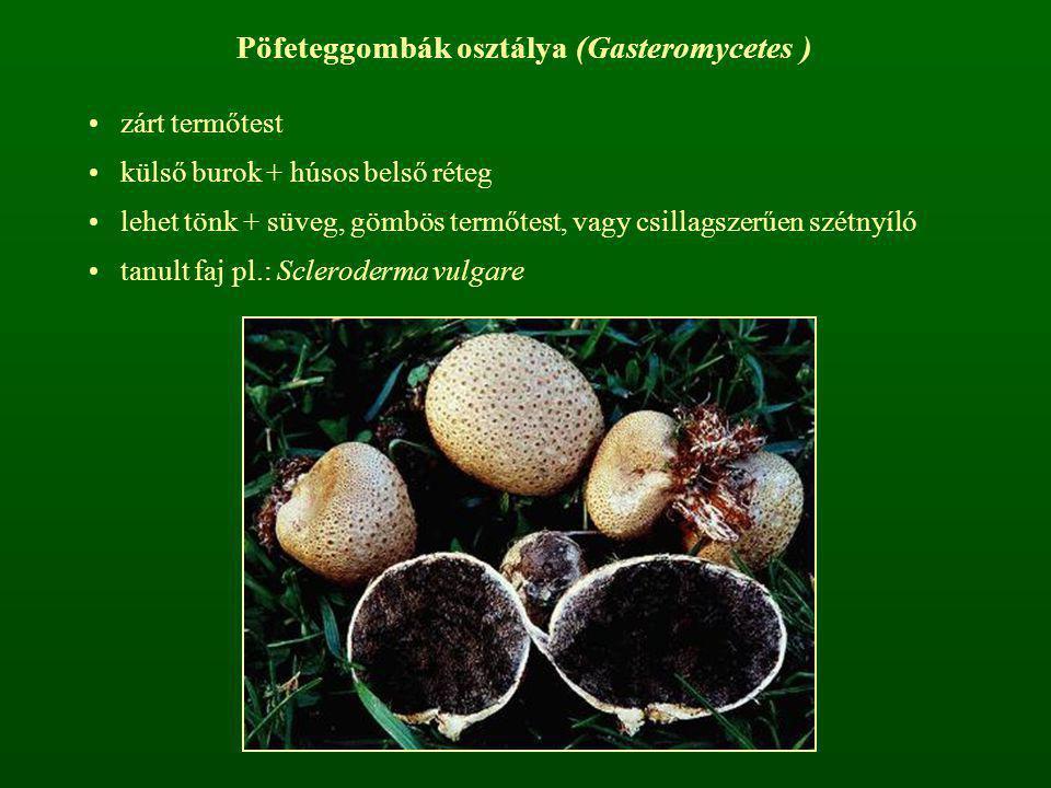 Pöfeteggombák osztálya (Gasteromycetes )