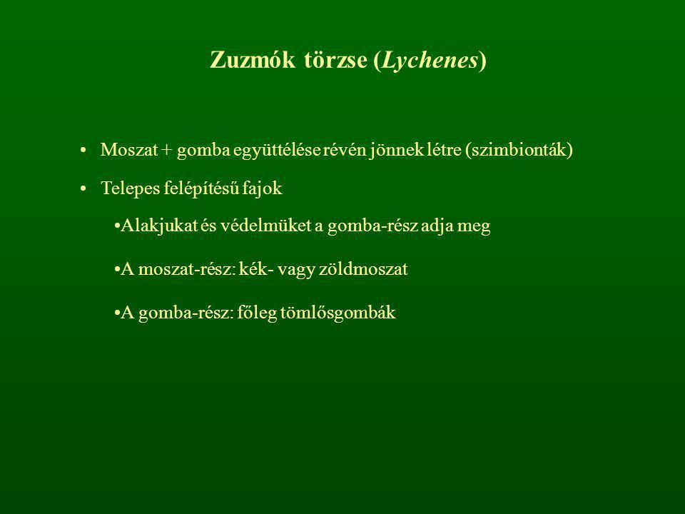 Zuzmók törzse (Lychenes)