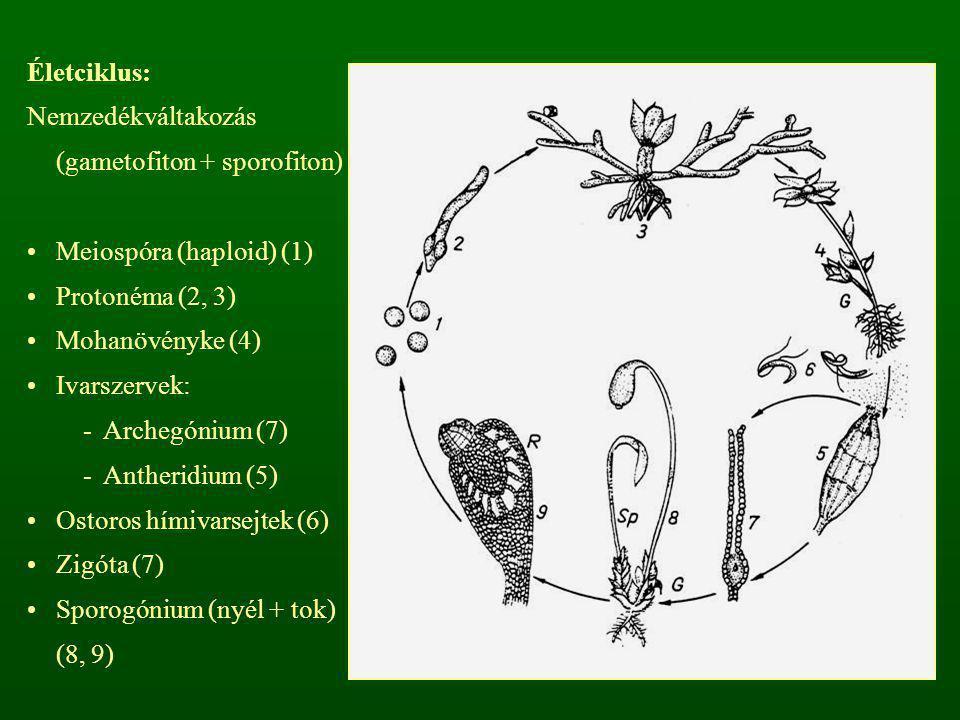 Életciklus: Nemzedékváltakozás (gametofiton + sporofiton) Meiospóra (haploid) (1) Protonéma (2, 3)