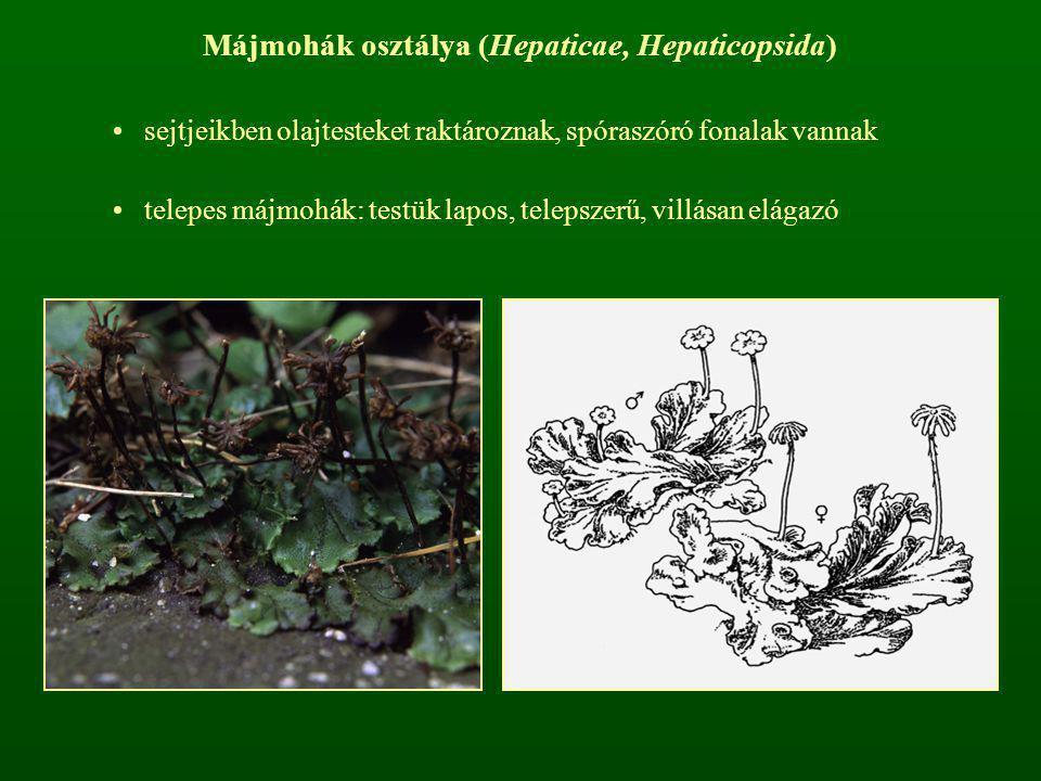 Májmohák osztálya (Hepaticae, Hepaticopsida)