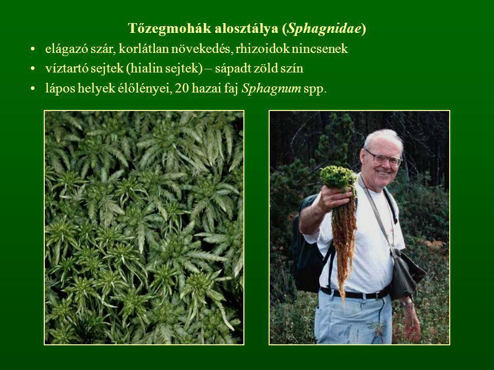Tőzegmohák alosztálya (Sphagnidae)