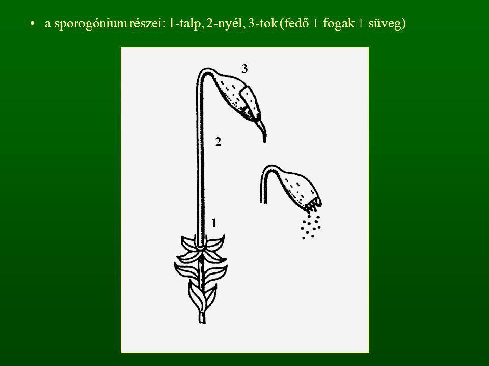a sporogónium részei: 1-talp, 2-nyél, 3-tok (fedő + fogak + süveg)