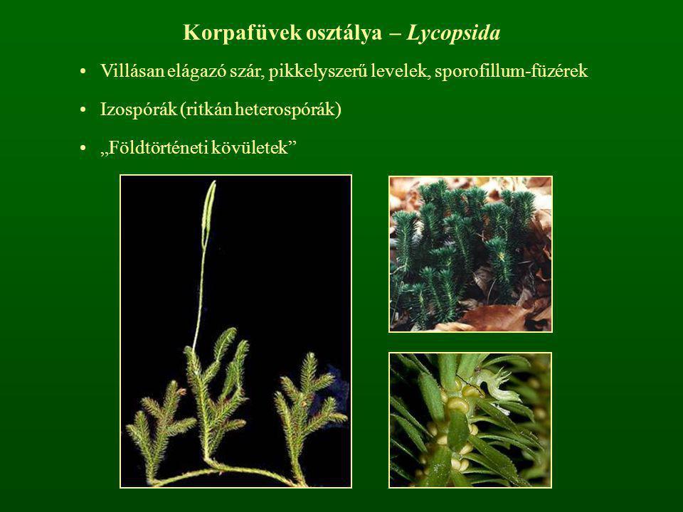 Korpafüvek osztálya – Lycopsida