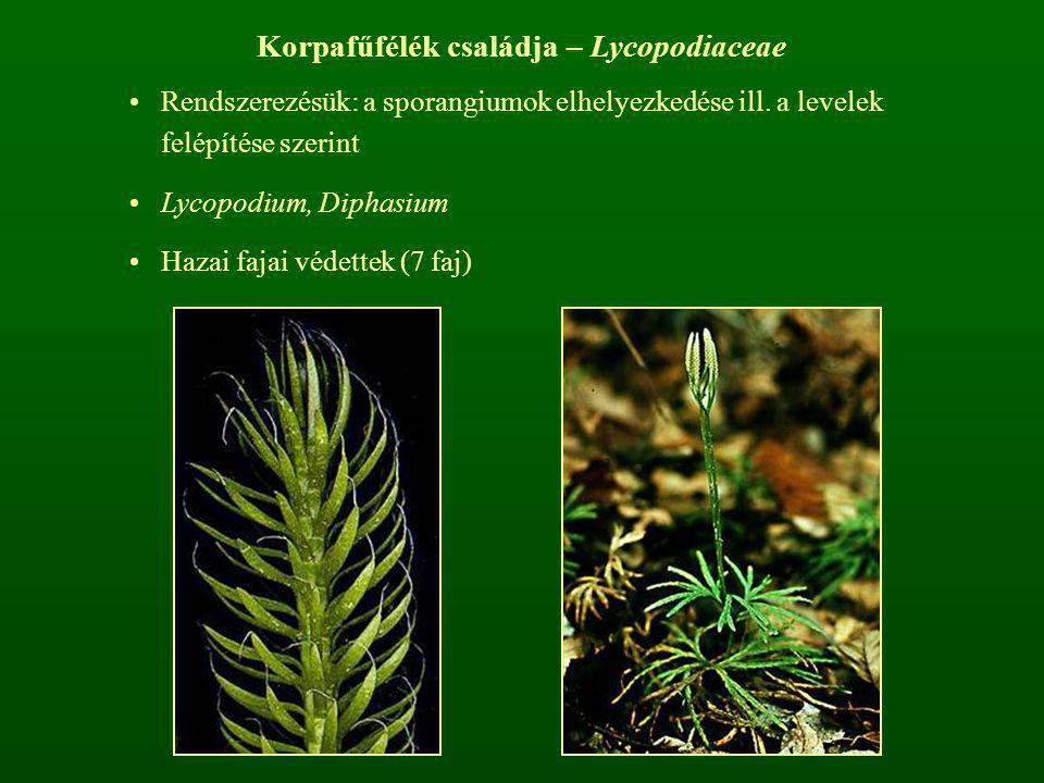 Korpafűfélék családja – Lycopodiaceae