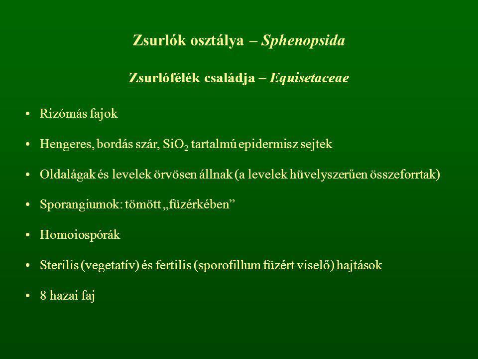 Zsurlók osztálya – Sphenopsida Zsurlófélék családja – Equisetaceae