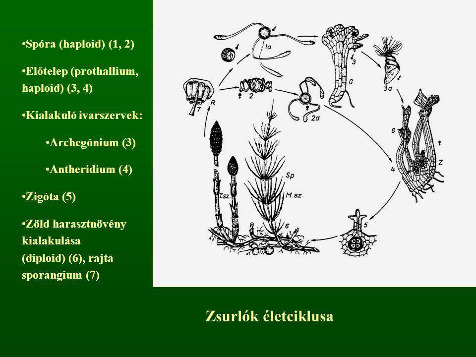 Zsurlók életciklusa Spóra (haploid) (1, 2)