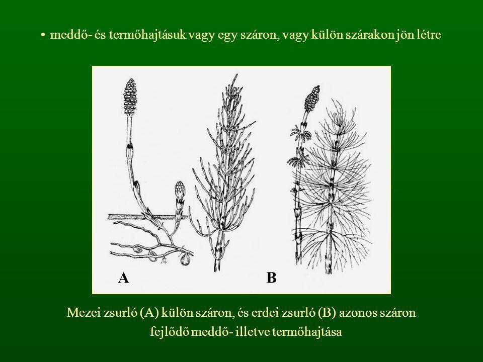 meddő- és termőhajtásuk vagy egy száron, vagy külön szárakon jön létre