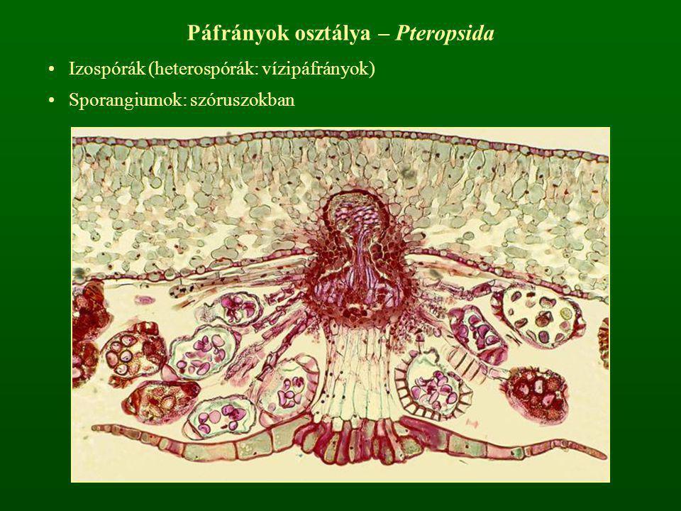 Páfrányok osztálya – Pteropsida