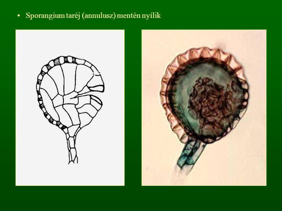 Sporangium taréj (annulusz) mentén nyílik