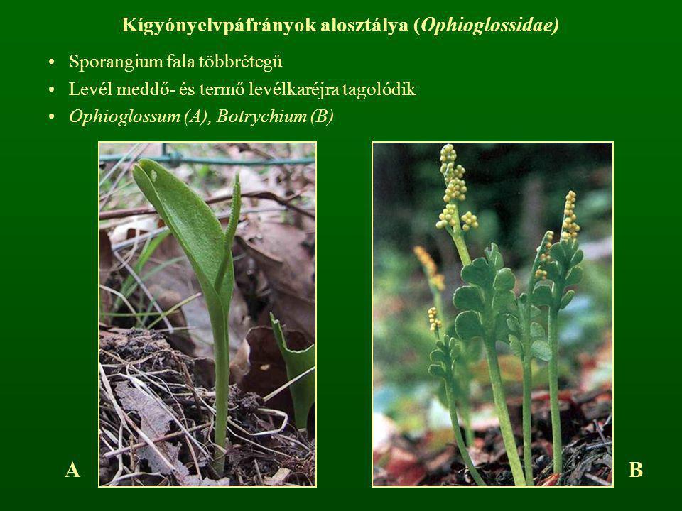 Kígyónyelvpáfrányok alosztálya (Ophioglossidae)