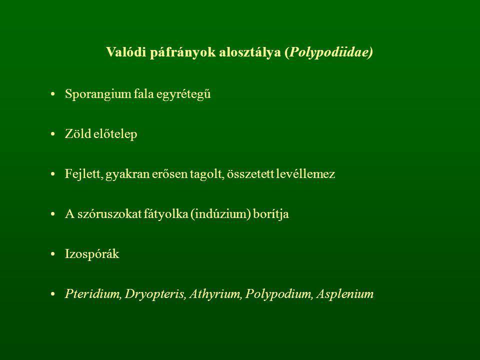Valódi páfrányok alosztálya (Polypodiidae)