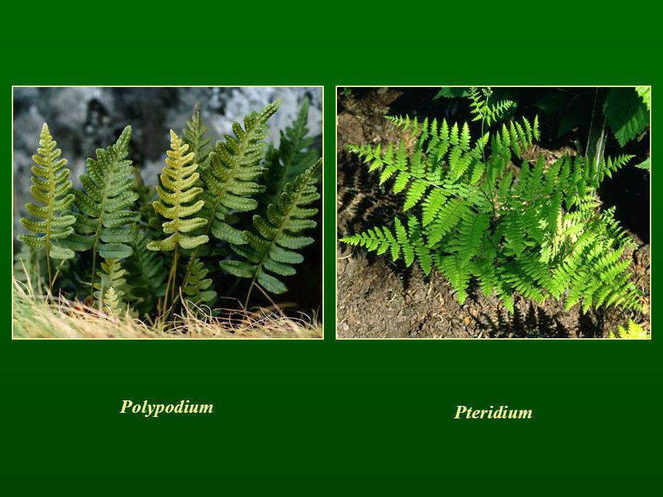 Polypodium Pteridium