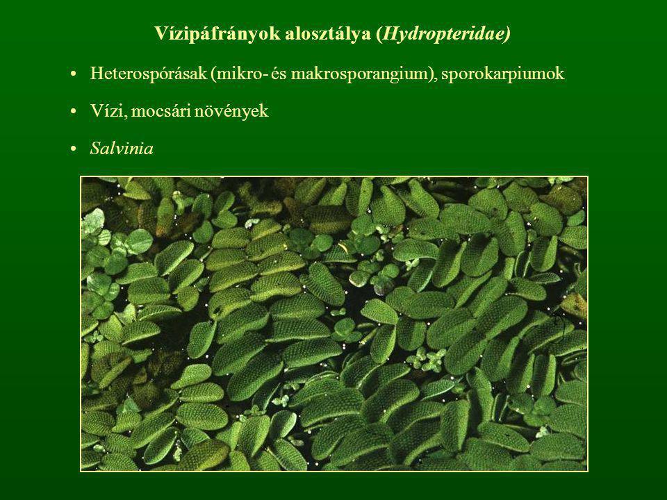 Vízipáfrányok alosztálya (Hydropteridae)