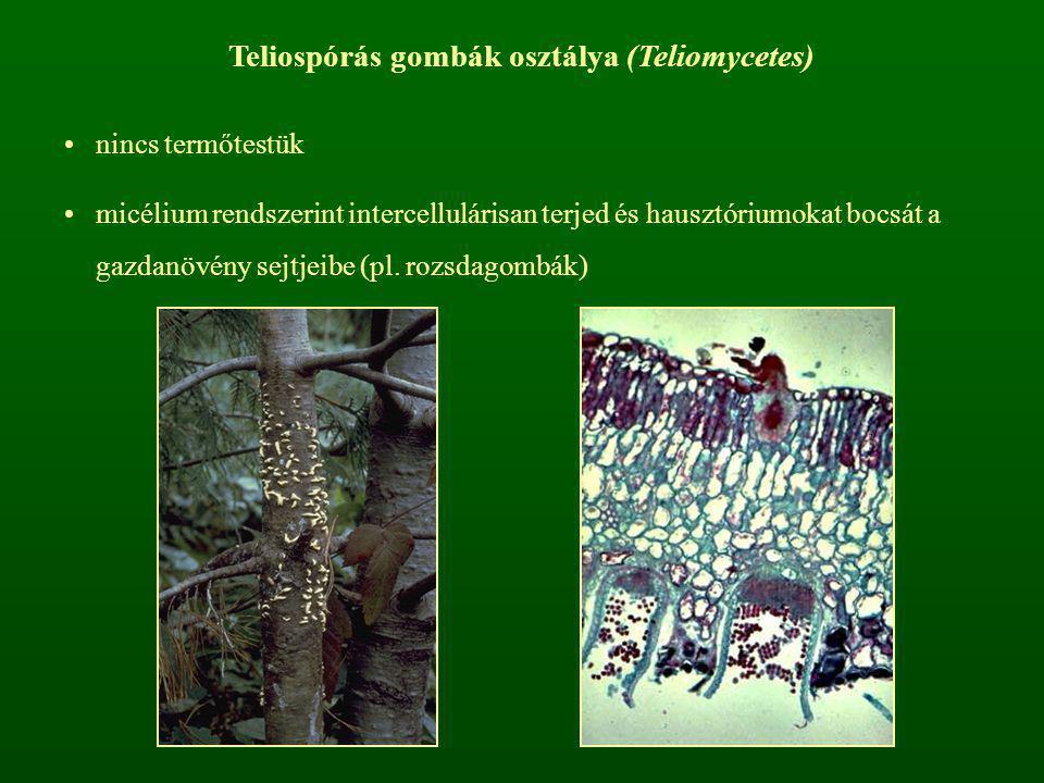 Teliospórás gombák osztálya (Teliomycetes)