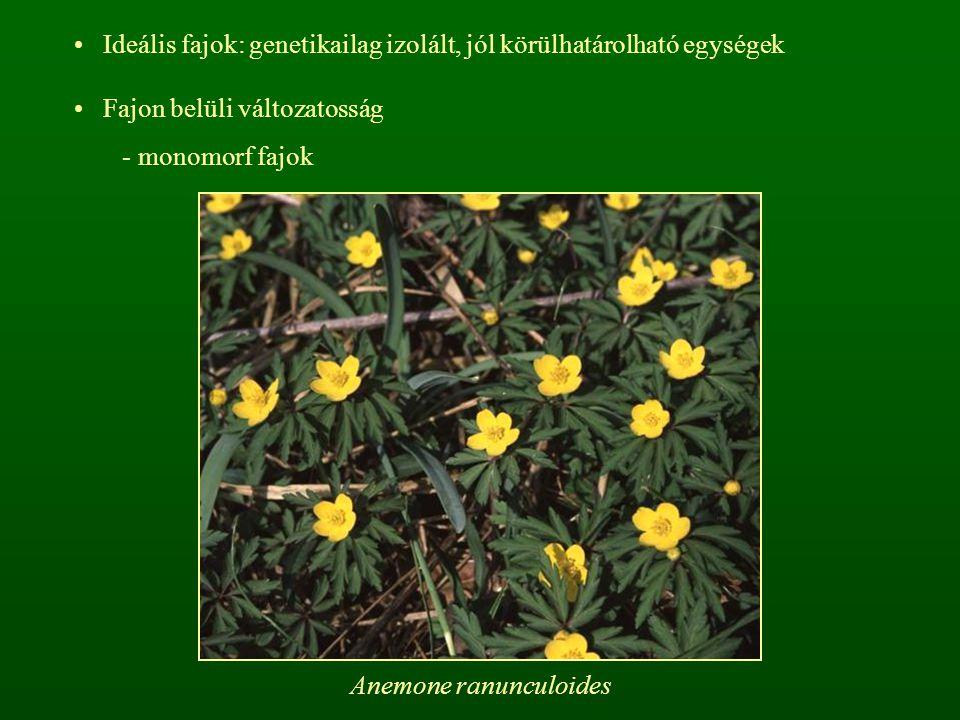 Anemone ranunculoides