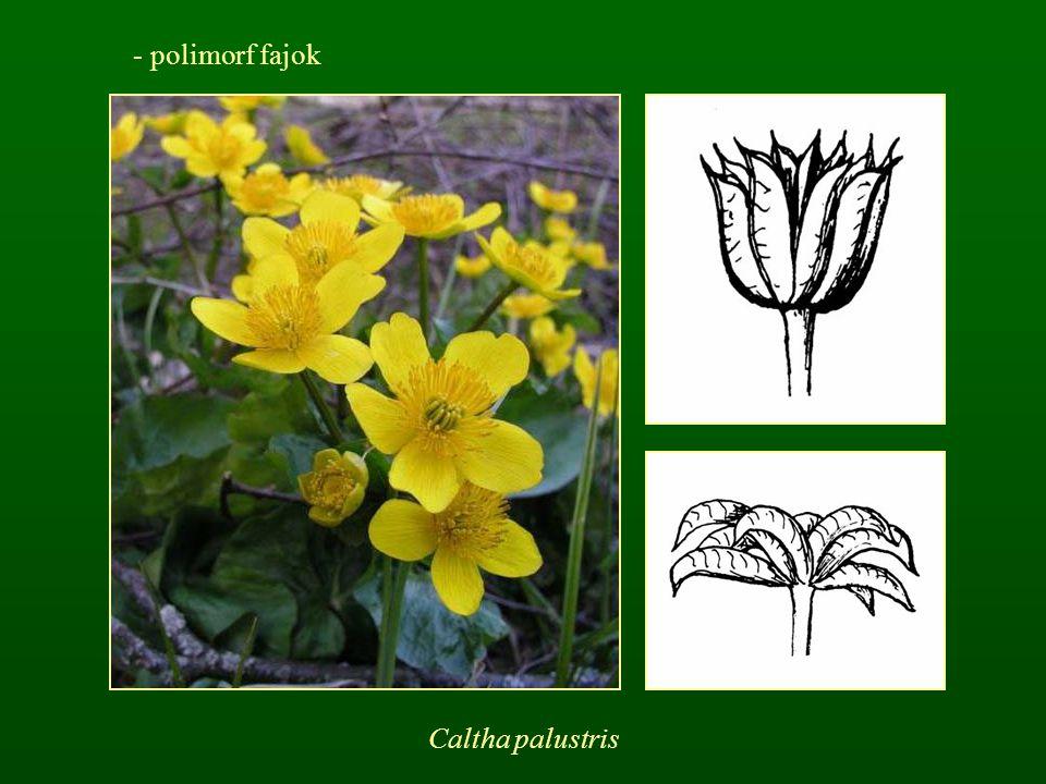 polimorf fajok Caltha palustris