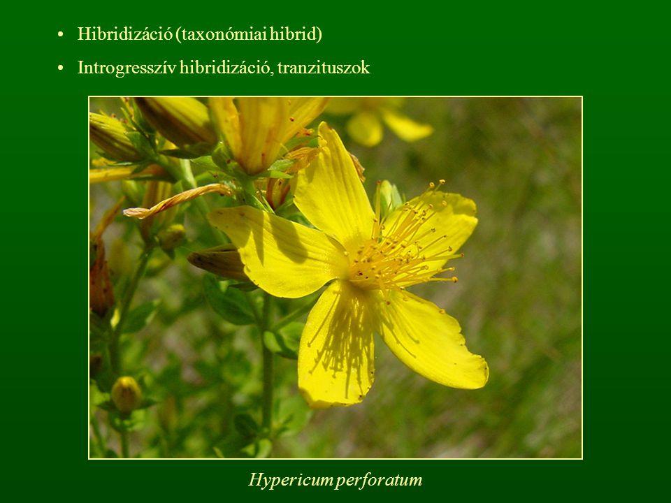 Hibridizáció (taxonómiai hibrid)