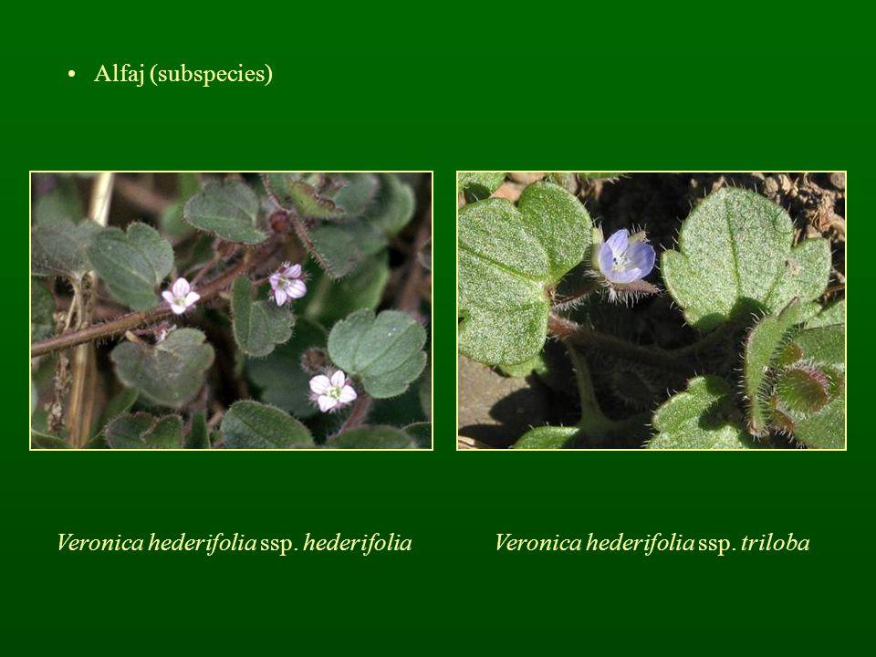 Veronica hederifolia ssp. hederifolia