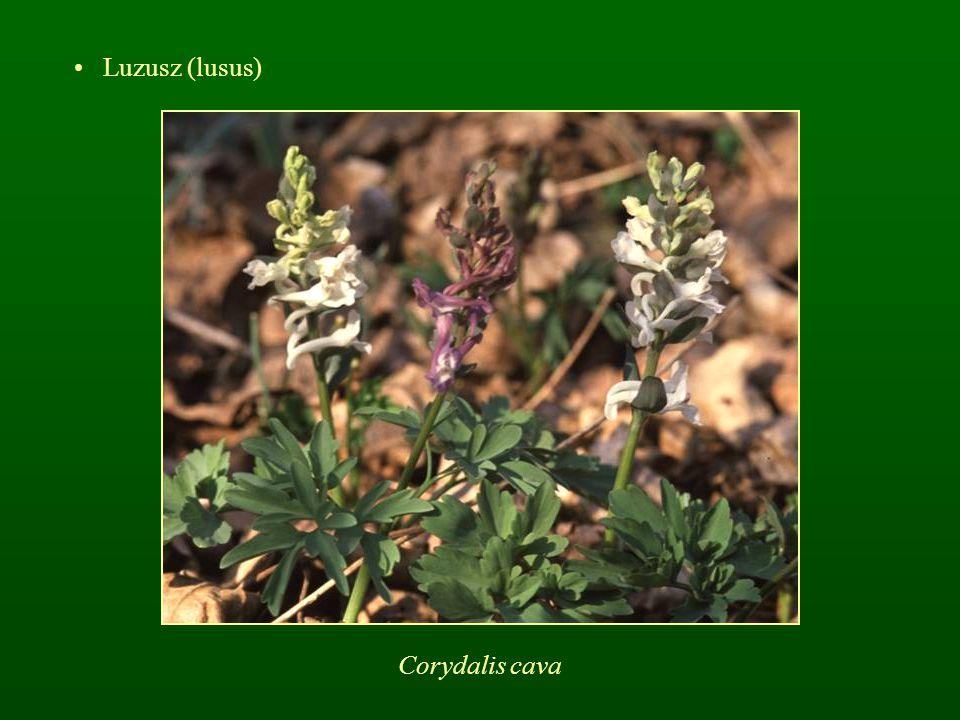 Luzusz (lusus) Corydalis cava