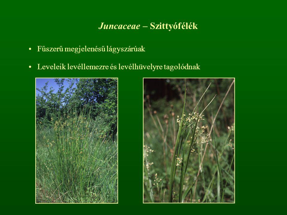 Juncaceae – Szittyófélék