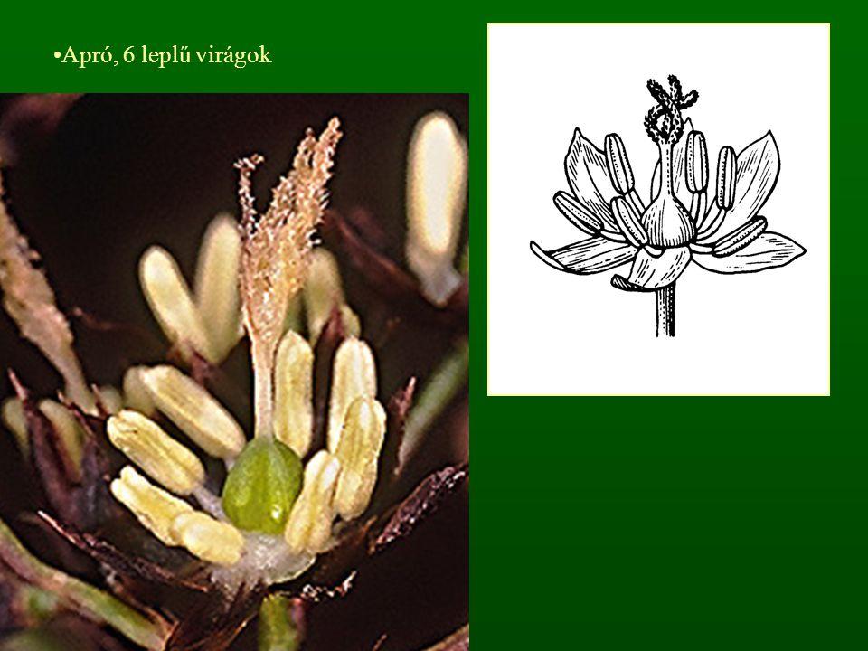 Apró, 6 leplű virágok