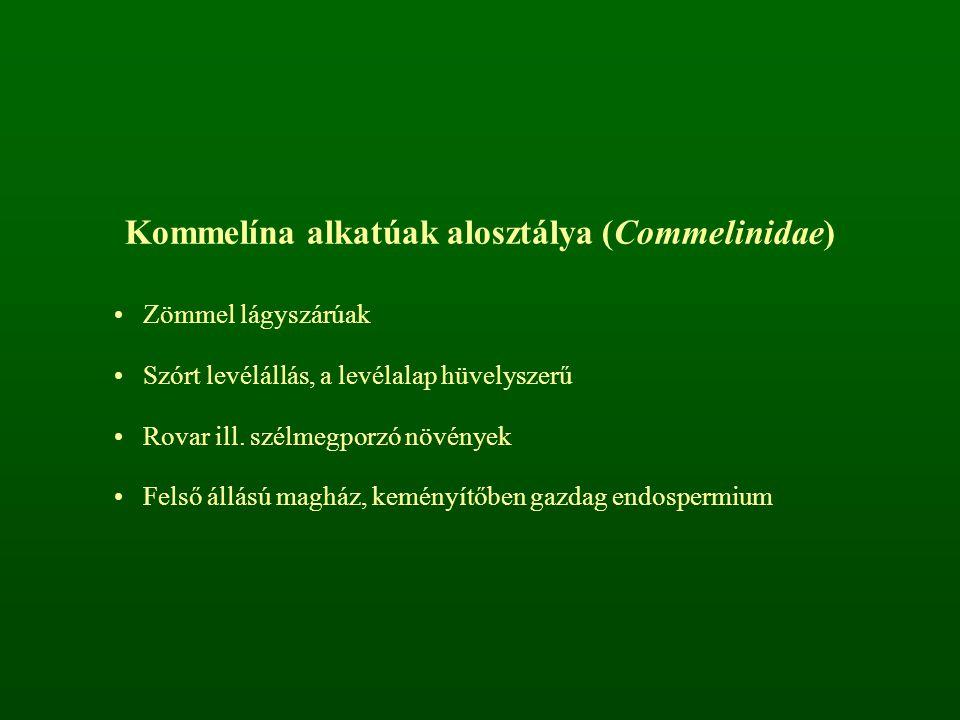 Kommelína alkatúak alosztálya (Commelinidae)