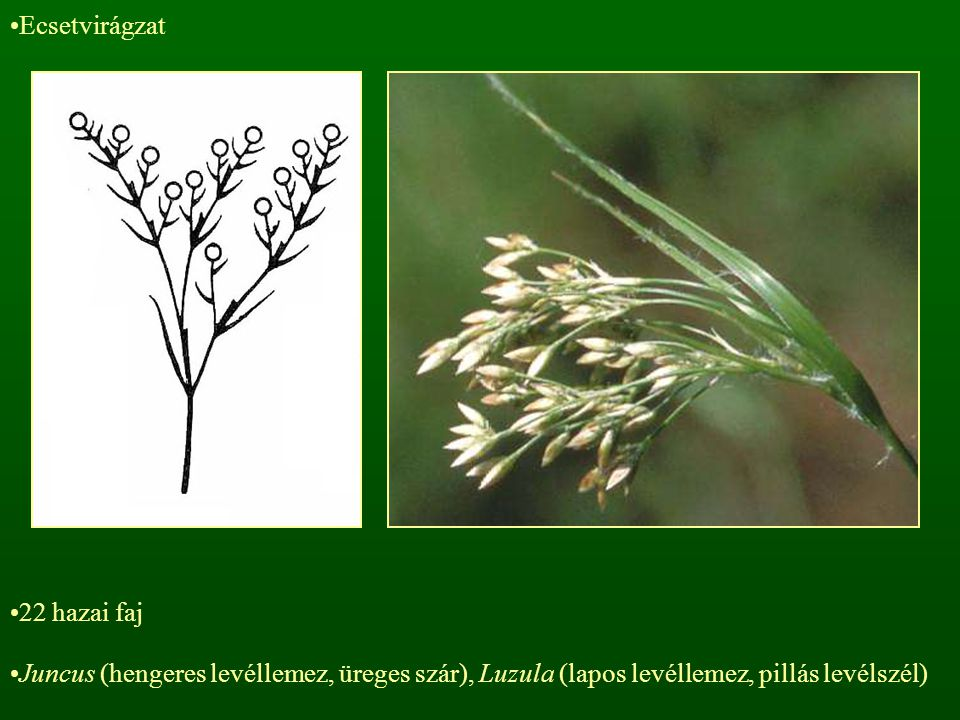 Ecsetvirágzat 22 hazai faj.