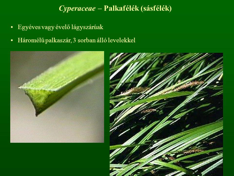 Cyperaceae – Palkafélék (sásfélék)