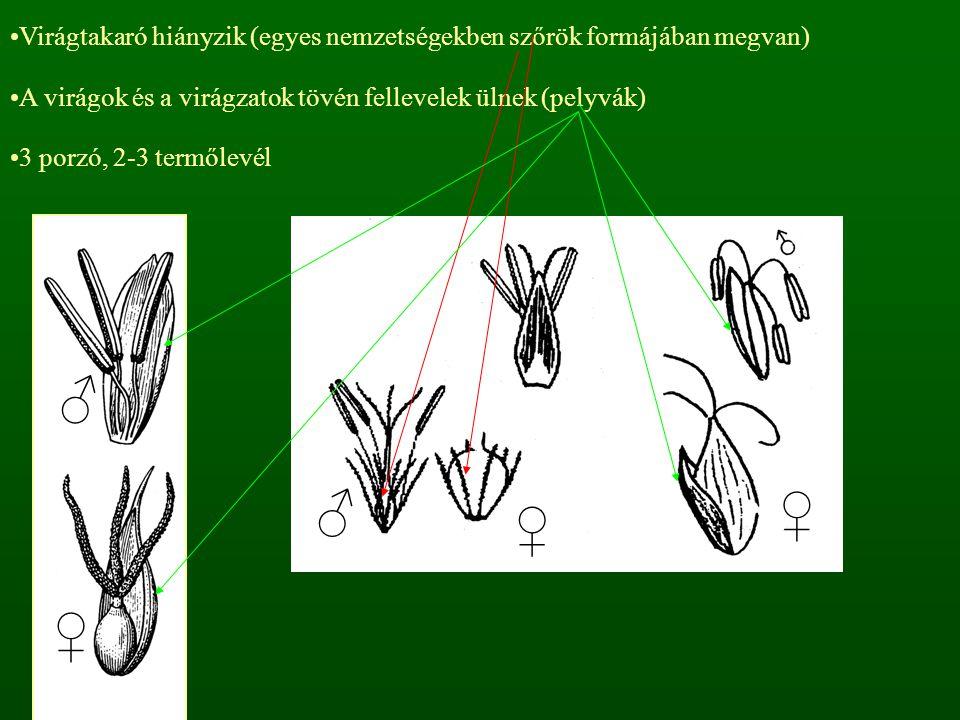 Virágtakaró hiányzik (egyes nemzetségekben szőrök formájában megvan)