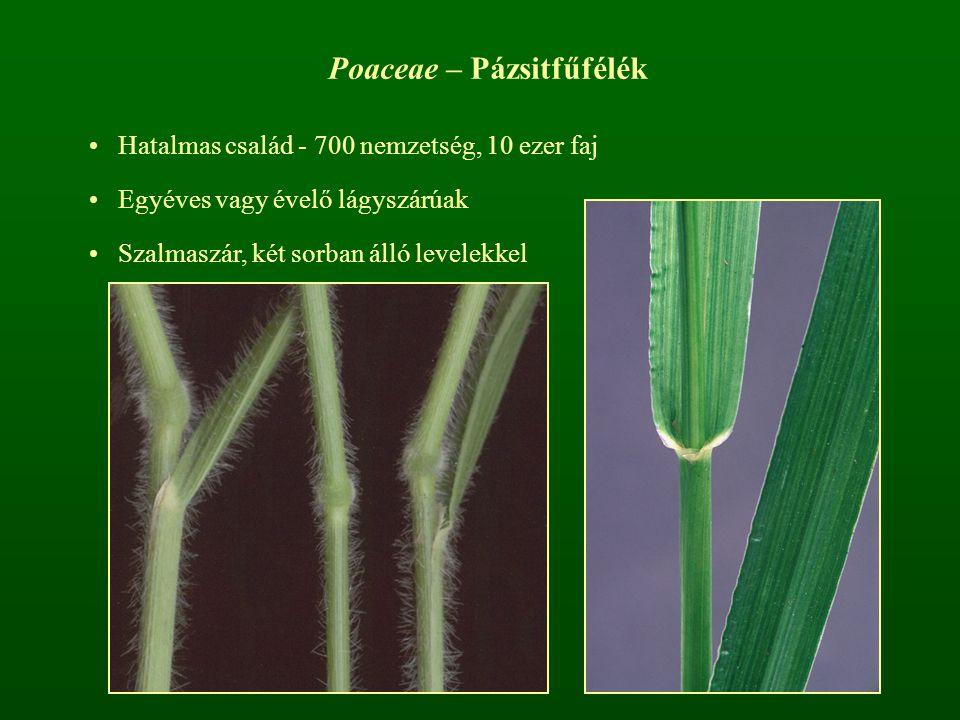 Poaceae – Pázsitfűfélék