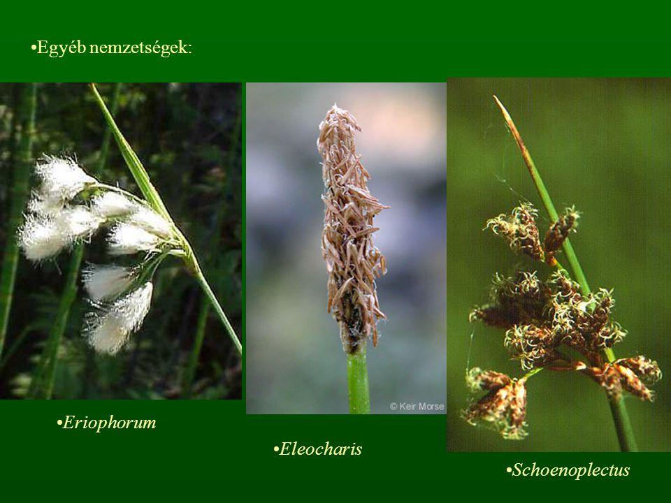 Egyéb nemzetségek: Eriophorum Eleocharis Schoenoplectus