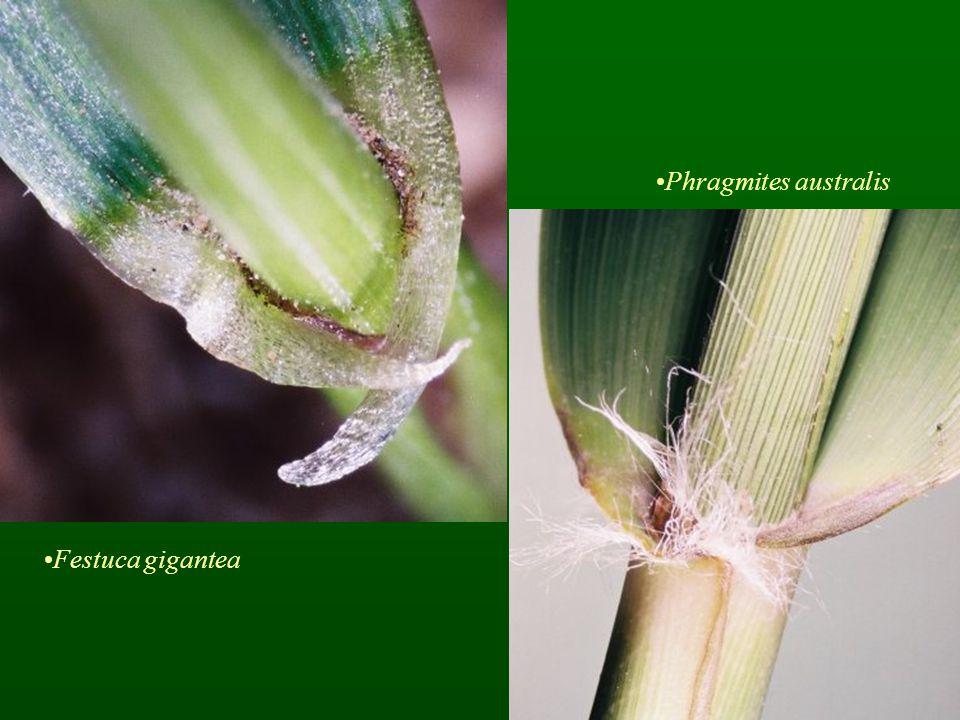 Phragmites australis Festuca gigantea