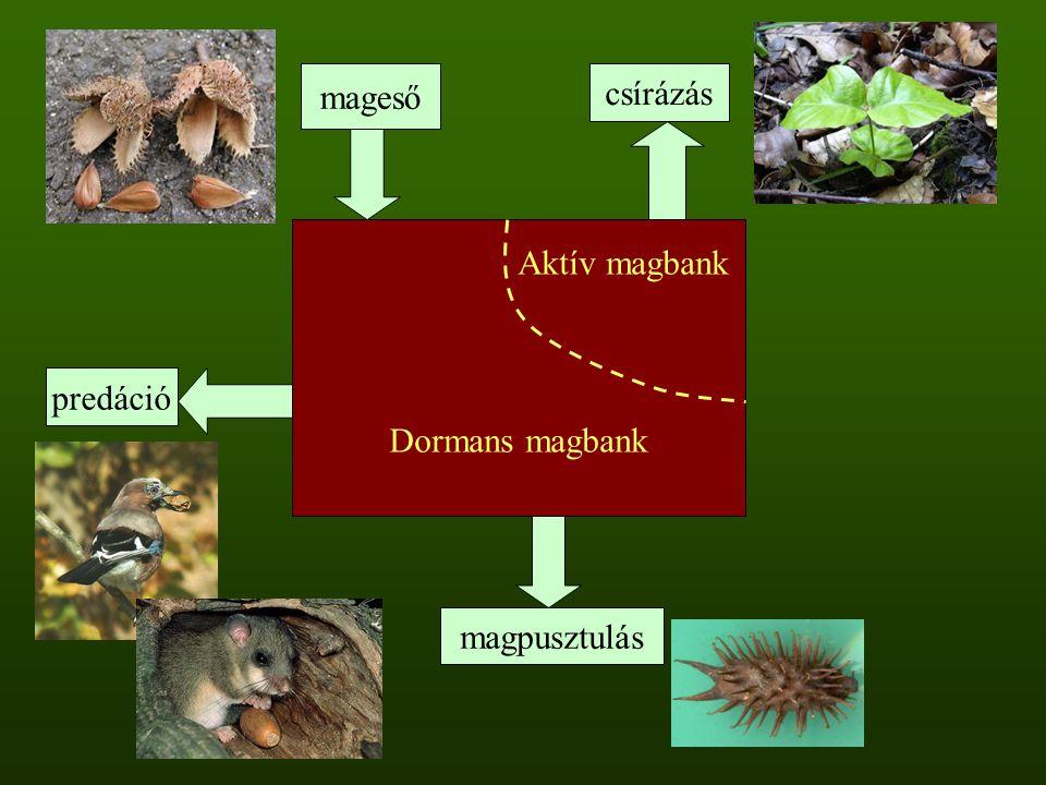 mageső csírázás Aktív magbank Dormans magbank predáció magpusztulás