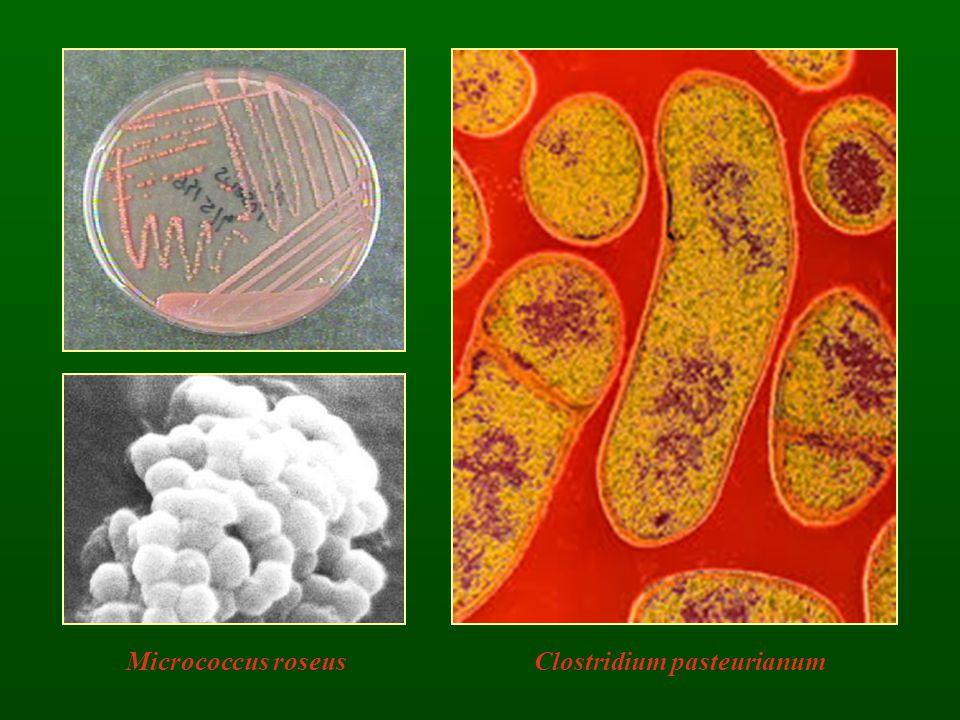 Clostridium pasteurianum