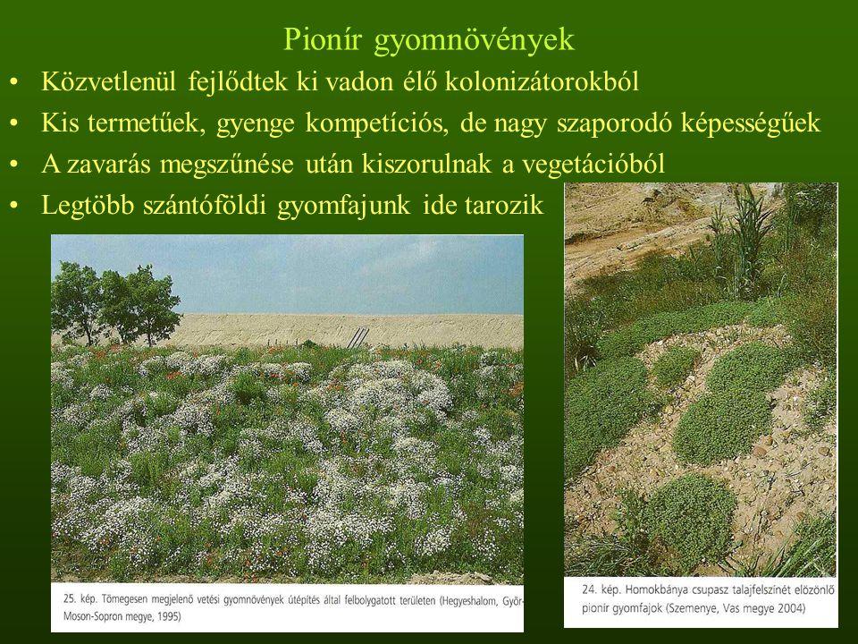 Pionír gyomnövények Közvetlenül fejlődtek ki vadon élő kolonizátorokból. Kis termetűek, gyenge kompetíciós, de nagy szaporodó képességűek.