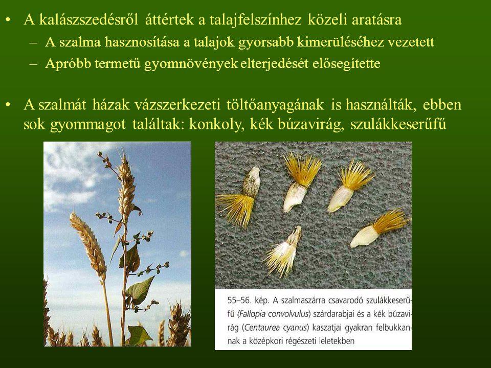 A kalászszedésről áttértek a talajfelszínhez közeli aratásra