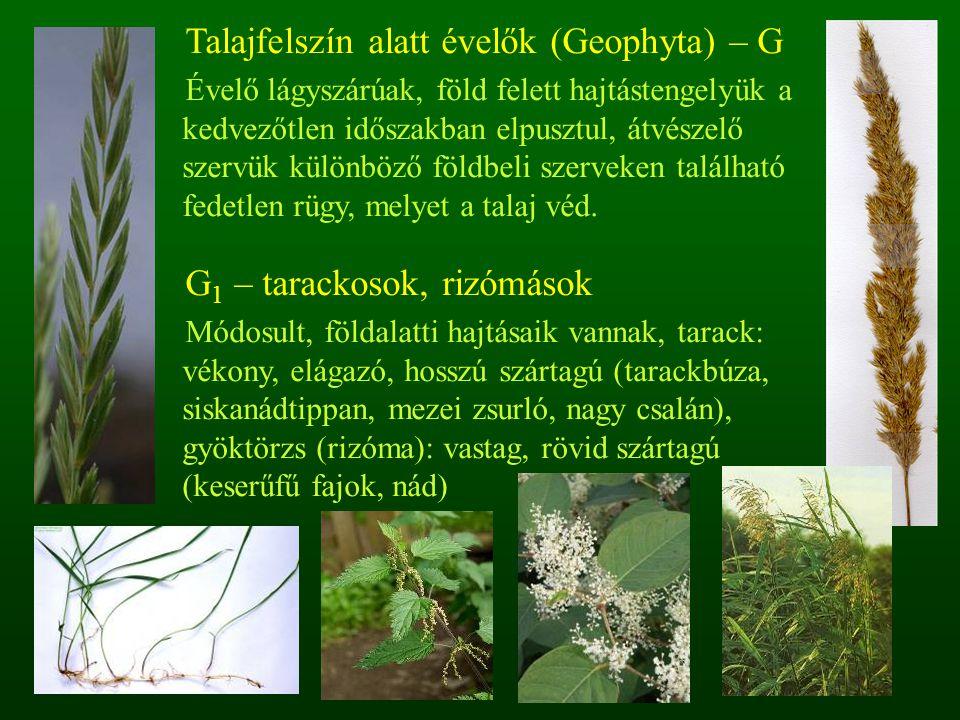 Talajfelszín alatt évelők (Geophyta) – G
