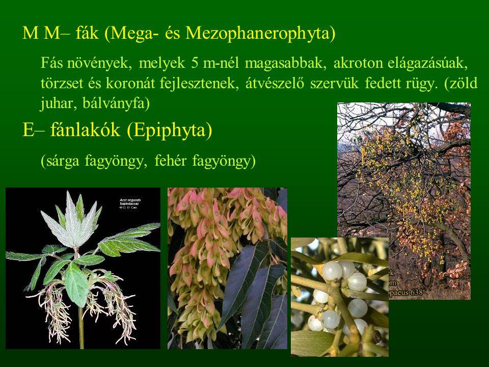 E– fánlakók (Epiphyta) (sárga fagyöngy, fehér fagyöngy)