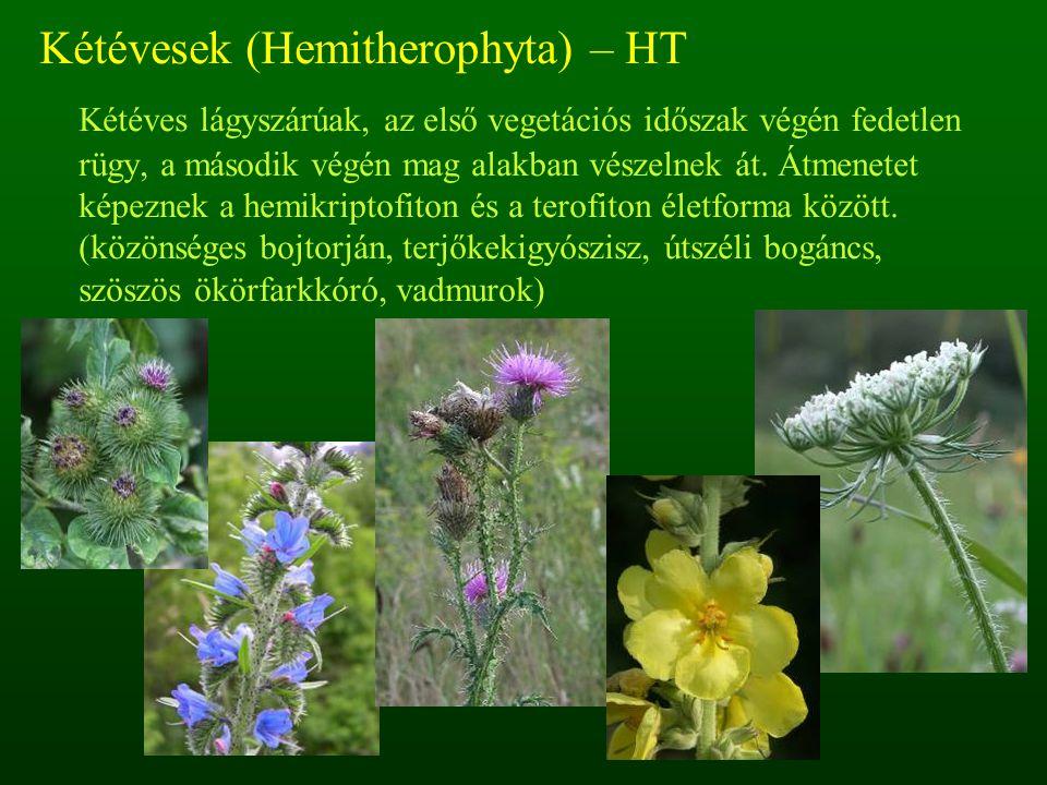Kétévesek (Hemitherophyta) – HT